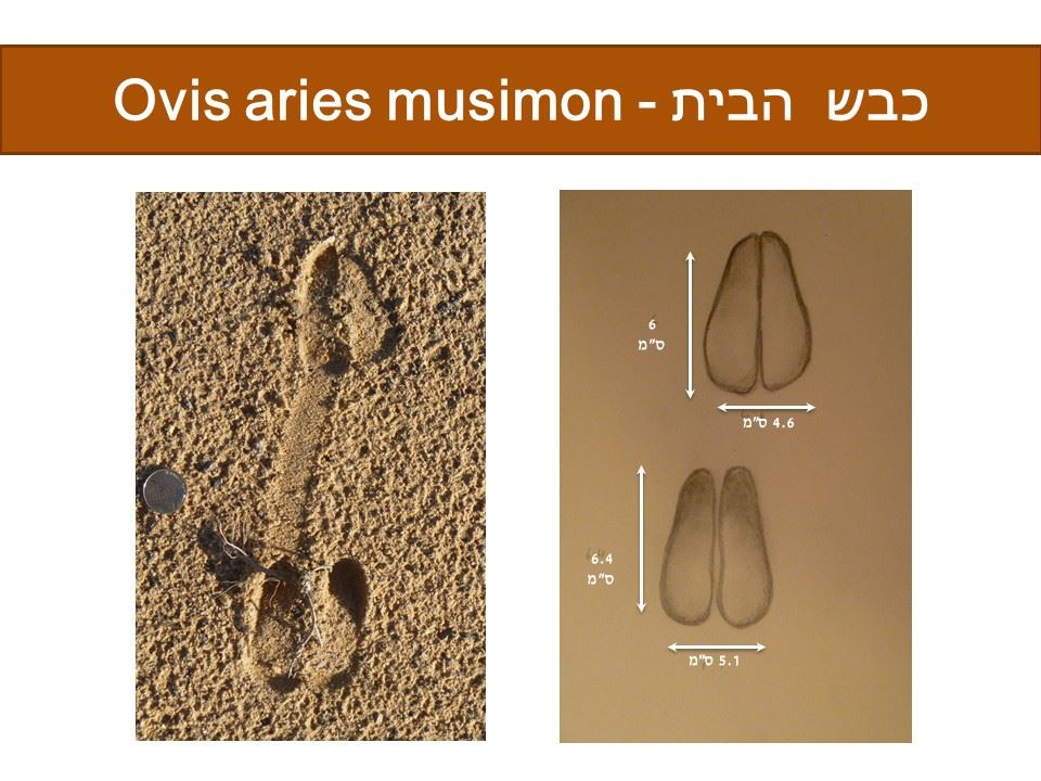 כבש - Ovis aries musimon